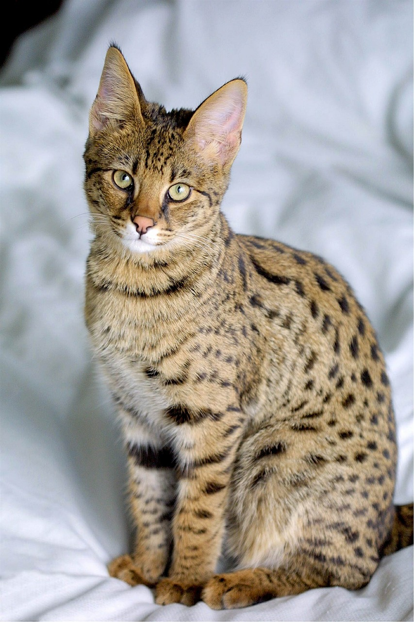 savannah hybrid cat