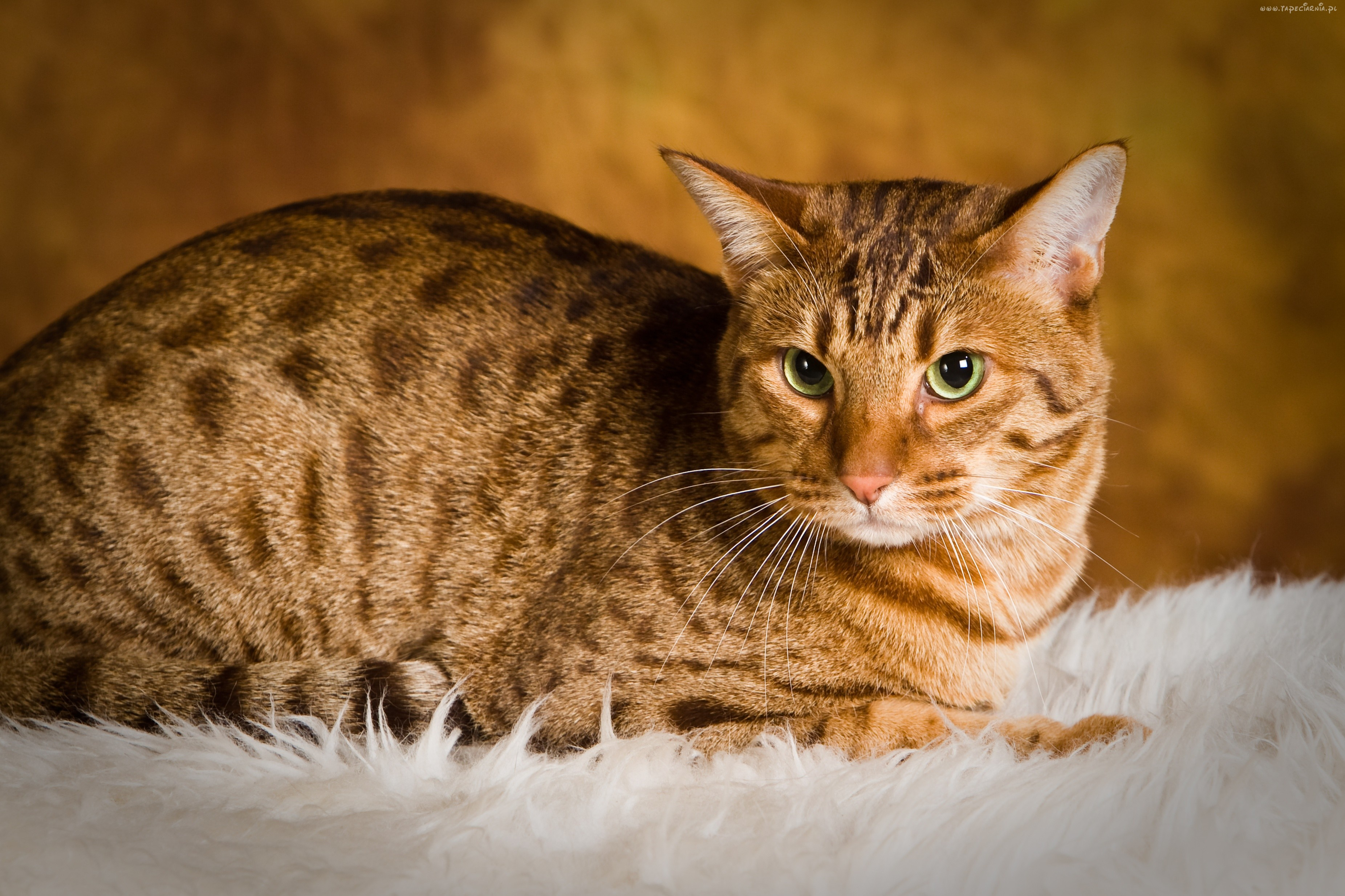 ocicat wild looks great personality cat concerns
